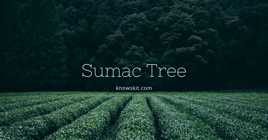 trees, sumac tree, sumac tree meaning, poison sumac tree,save trees, about trees, what is tree, unique trees, facts about plants,facts about trees, amazing facts about trees, fun facts about trees.