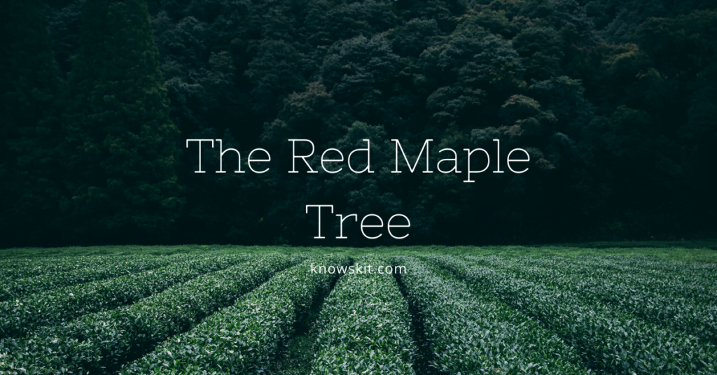 trees, red maple tree, red maple tree information, red maple bonsai tree, red maple tree leaves, japanese red maple tree, red maple tree facts, red maple tree leaf,save trees, about trees, what is tree, unique trees, facts about plants,facts about trees, amazing facts about trees, fun facts about trees.