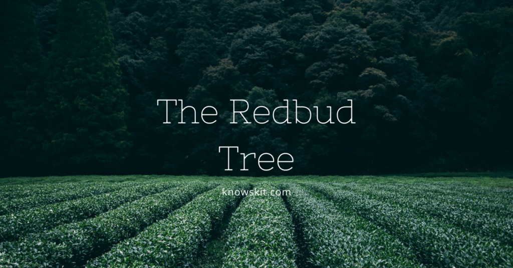 trees, save trees, about trees, what is tree,redbud tree, redbud tree leaves, eastern redbud tree, chinese redbud tree, redbud tree care unique trees, facts about plants,facts about trees, amazing facts about trees, fun facts about trees.