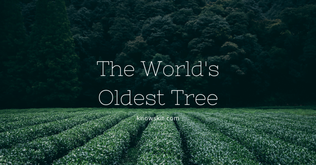 trees, save trees, about trees, what is tree, unique trees, facts about plants,facts about trees, amazing facts about trees, fun facts about trees.world's oldest tree, the world's oldest tree.