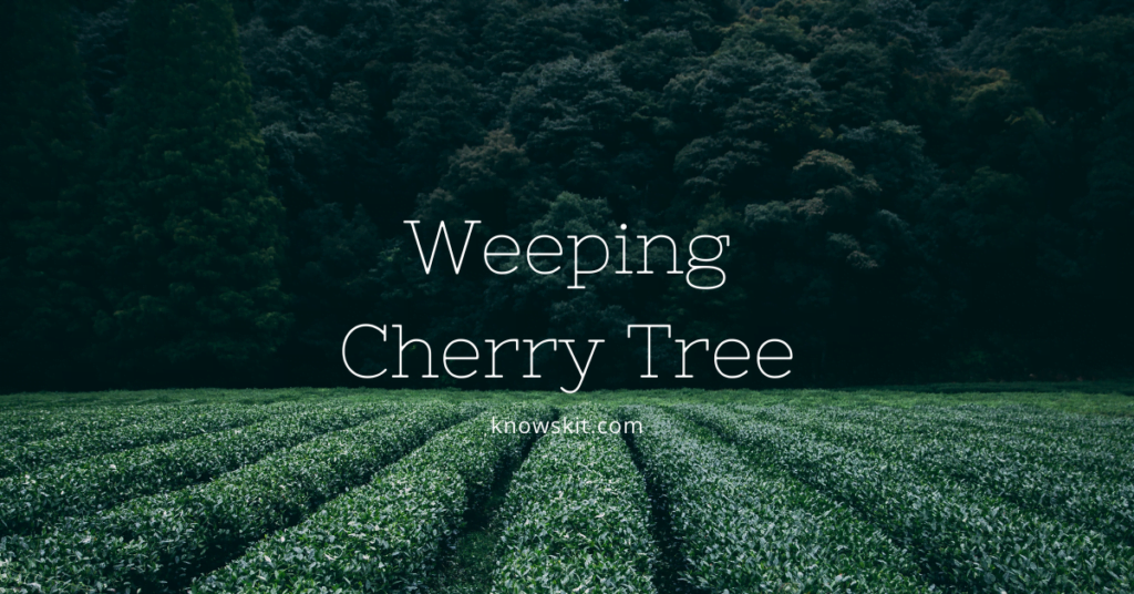 trees, save trees, about trees, what is tree,weeping cherry tree, weeping cherry bonsai tree, pink weeping cherry tree unique trees, facts about plants,facts about trees, amazing facts about trees, fun facts about trees.